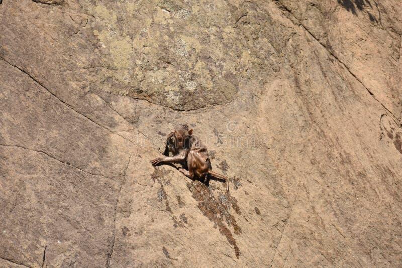 La broche impresionante del mono se aferra en piedra recta después de bañar en piscina de agua imagen de archivo libre de regalías
