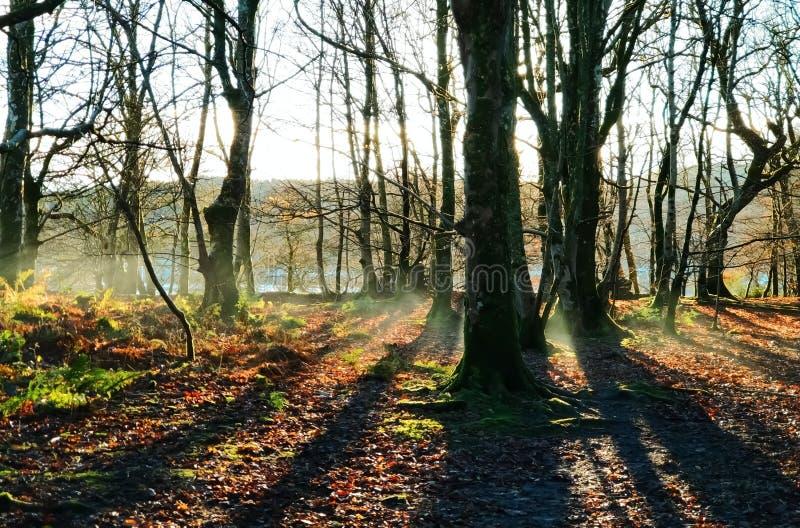 La brume d'automne de début de la matinée se lève dans une forêt vide photographie stock libre de droits