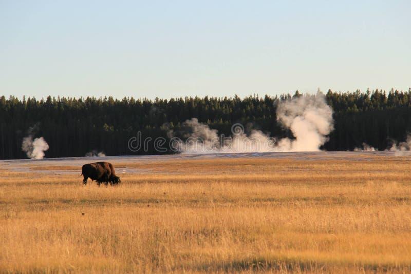 La Buffalo mangia l'erba fotografia stock libera da diritti