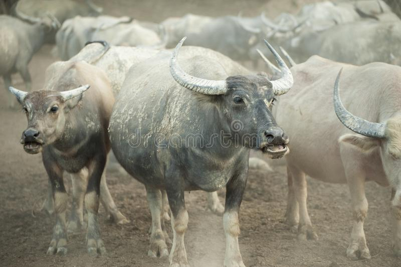 La Buffalo nel riparo Asia ha guidato immagine stock libera da diritti