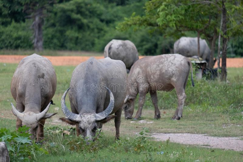 La Buffalo sta mangiando l'erba immagine stock libera da diritti