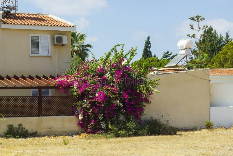 La buganvilla floreciente del arbusto con las flores rosadas crece la cerca cercana imagenes de archivo