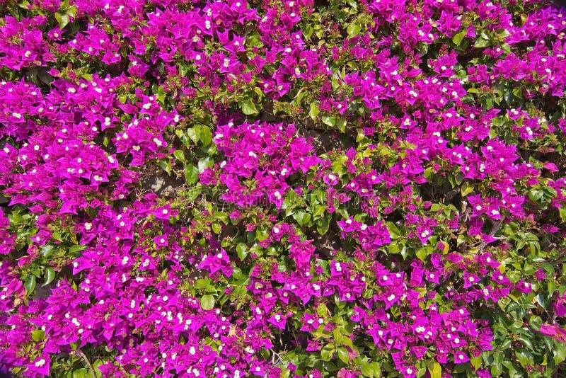 Download La Buganvilla Rosada Florece El Marco Completo Foto de archivo - Imagen de día, islas: 64212312