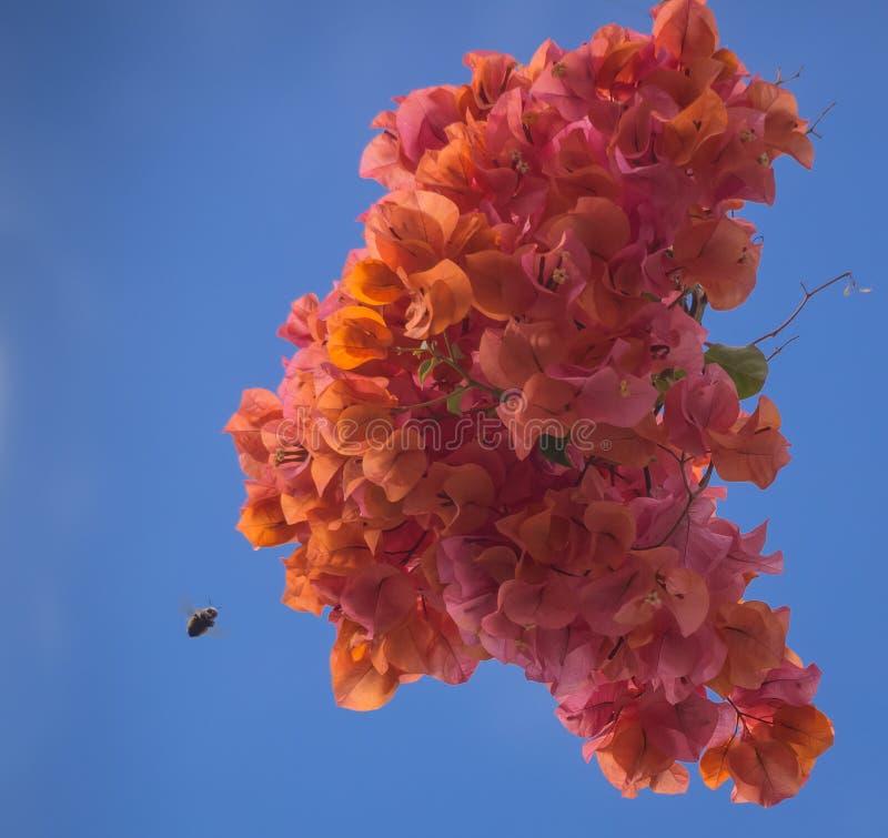 La buganvillea arancio brillantemente colorata fiorisce con l'avvicinamento dell'ape fotografia stock