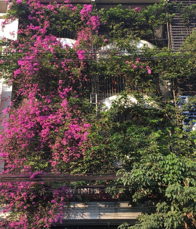 La buganvillea, fiore di carta è bella fotografia stock
