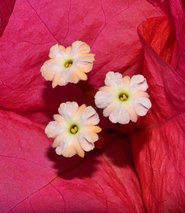 La buganvillea fiorisce il primo piano fotografie stock libere da diritti