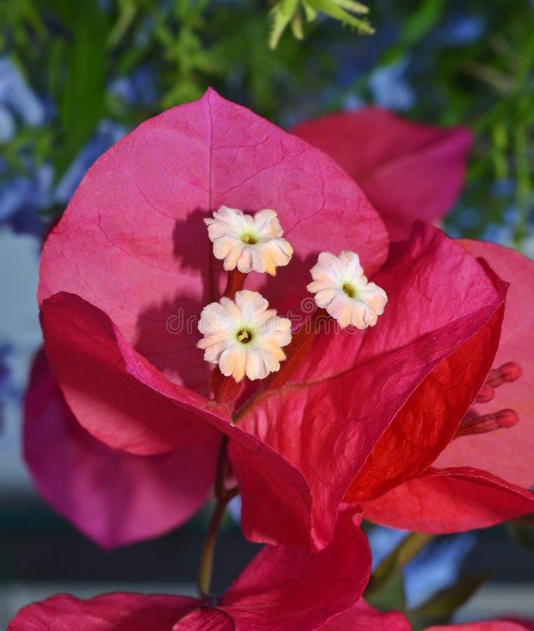 La buganvillea fiorisce il primo piano immagini stock