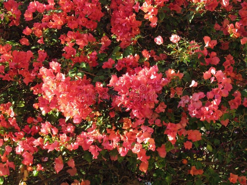 La buganvillea o i fiori di carta sboccia di estate Fiori arancio della buganvillea con le foglie verdi sull'albero immagine stock libera da diritti
