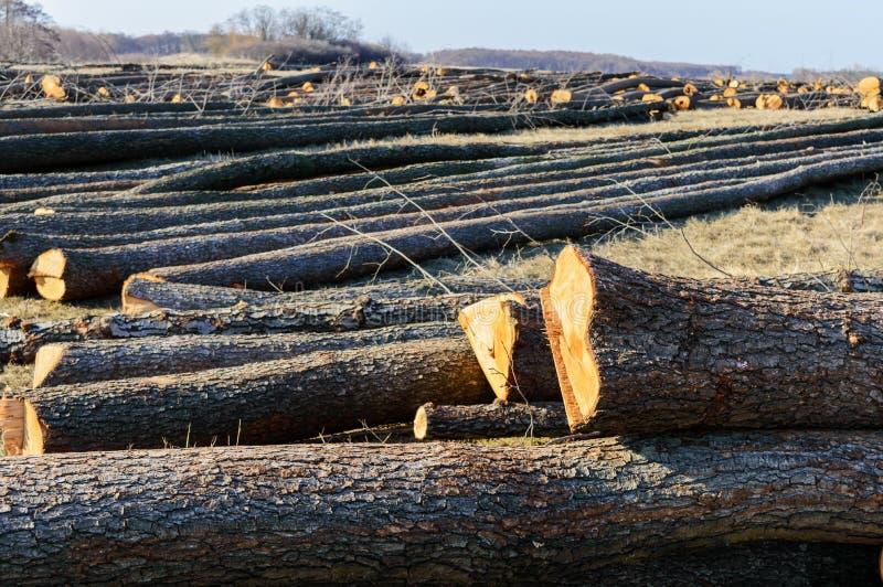 La bugia abbattuta degli alberi sulla terra Grandi ceppi - tronchi sbucciati dai rami fotografie stock