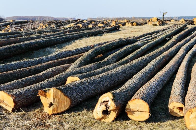 La bugia abbattuta degli alberi sulla terra Grandi ceppi - tronchi sbucciati dai rami fotografia stock libera da diritti