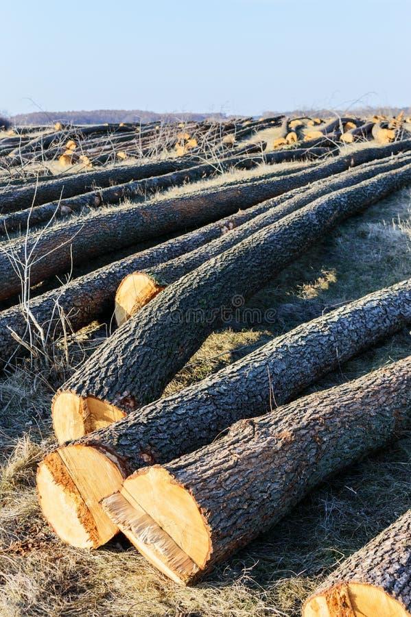 La bugia abbattuta degli alberi sulla terra Grandi ceppi - tronchi sbucciati dai rami Foreste di pulizia fotografia stock libera da diritti