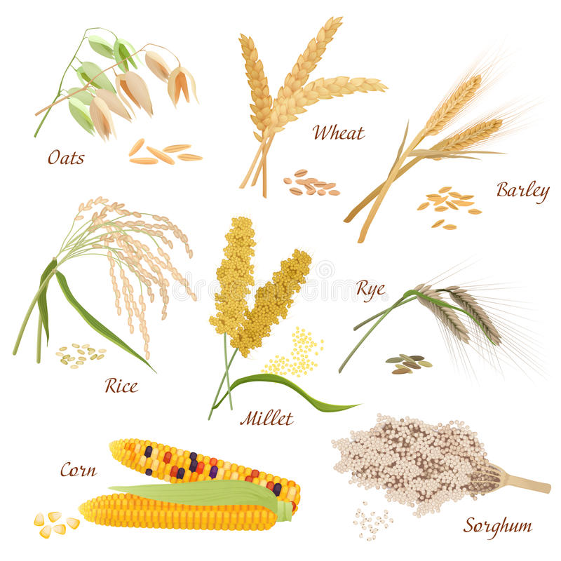 La céréale plante des illustrations d'icônes de vecteur Ensemble de maïs de sorgho de riz de millet de seigle d'orge de blé d'avo illustration de vecteur