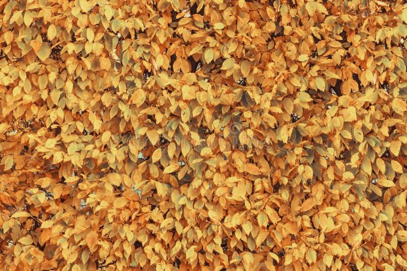 La caída amarilla y anaranjada hermosa del otoño deja el fondo color fotos de archivo libres de regalías