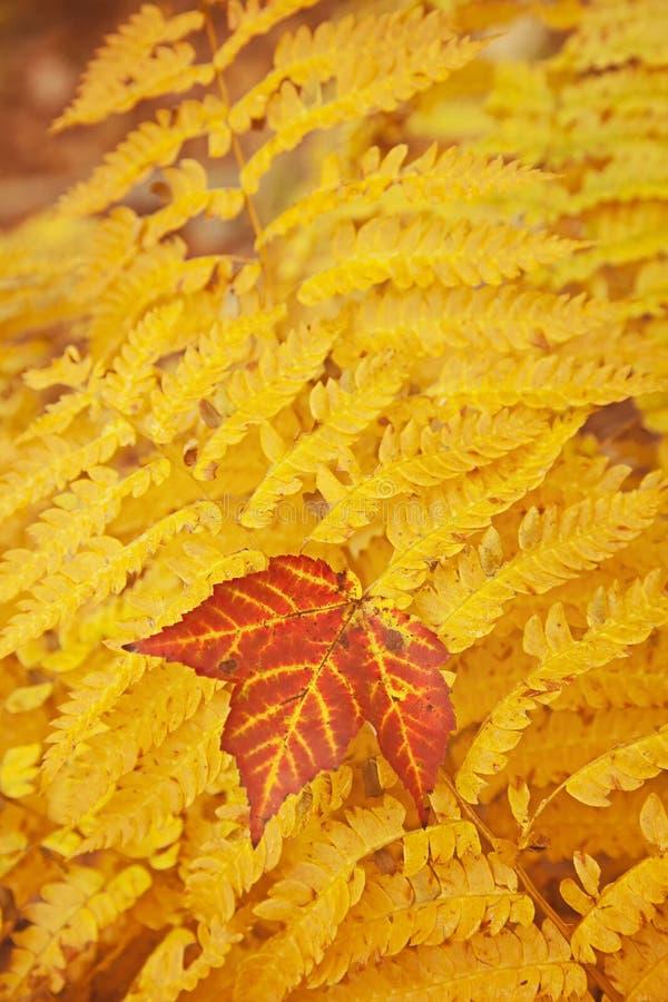 La caída del bosque del Estado del Acadia colorea el helecho. imagenes de archivo