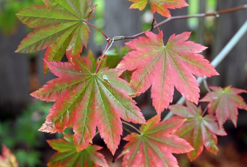 La caída se va en una rama con tonos verdes y rojos con gotas de lluvia fotos de archivo