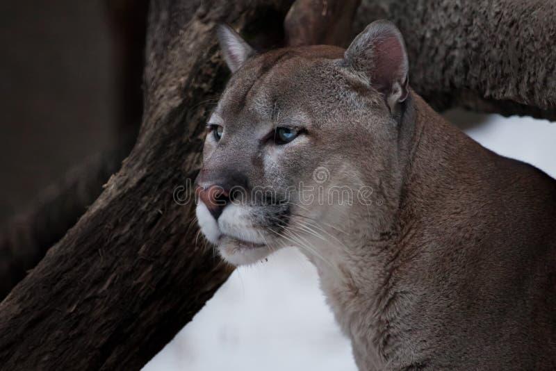 La cabeza agraciada de un puma agraciado - un gato depredador hermoso, primer imagen de archivo