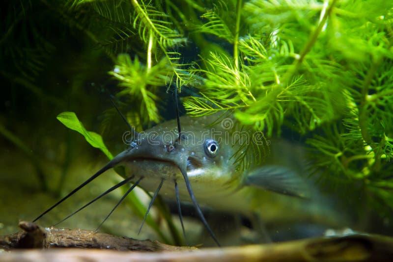 La cabeza, la boca y las barbillas del siluro de canal despredador de agua dulce invasor peligroso juvenil, punctatus del Ictalur foto de archivo
