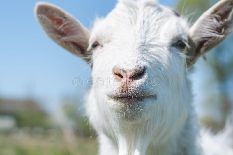 La cabeza de la cabra blanca en un fondo del primer del cielo azul imagen de archivo