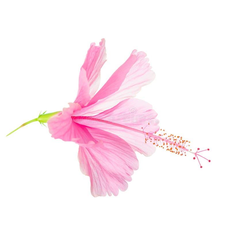 La cabeza de flor suave rosada del hibisco se aísla en el fondo blanco, fotos de archivo