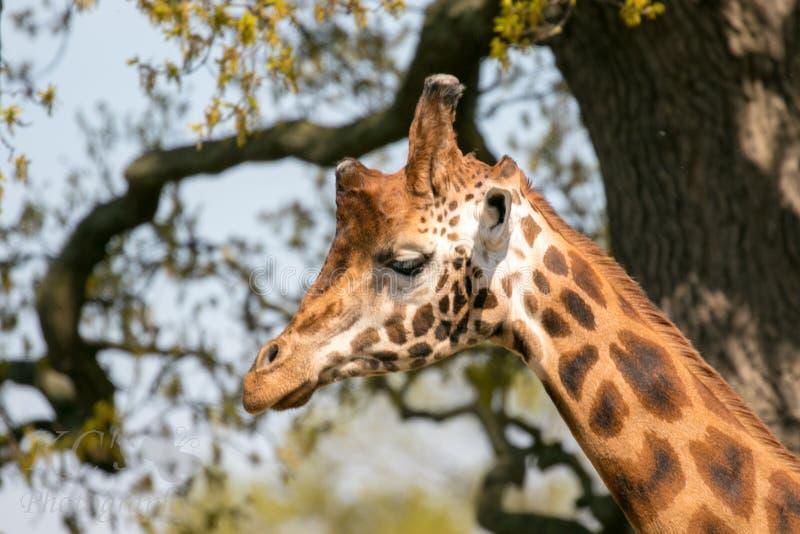 La cabeza de la jirafa fotos de archivo