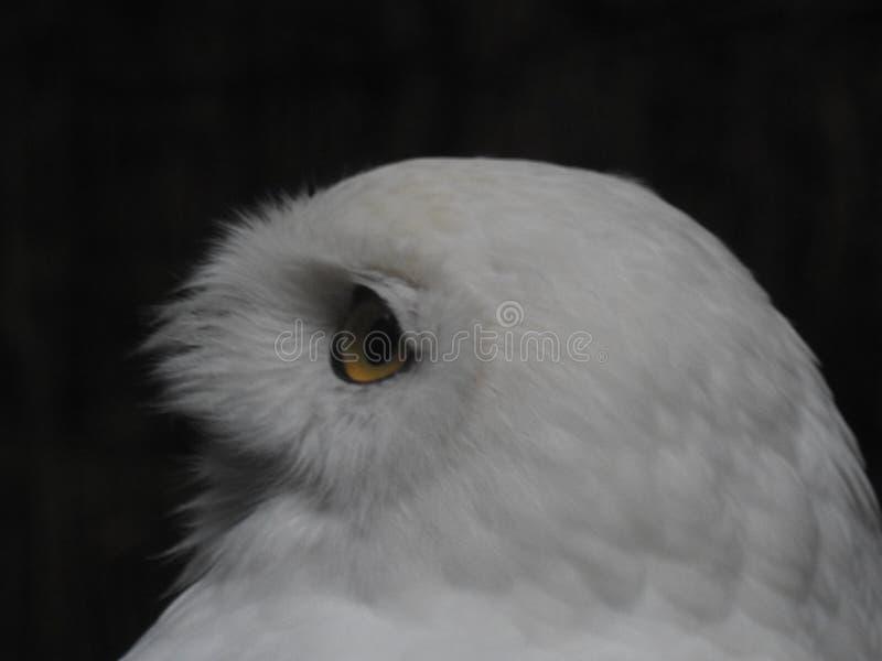 La cabeza de Owl Stock fotografía de archivo libre de regalías