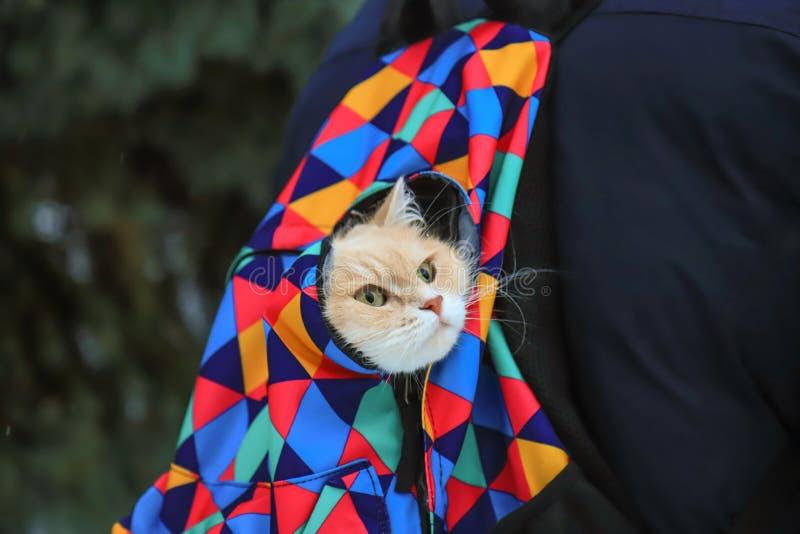 La cabeza de un gato rojo asustado mira fuera de una mochila coloreada foto de archivo libre de regalías
