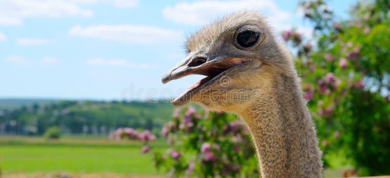 La cabeza de una avestruz africana contra un paisaje escénico wide imagen de archivo libre de regalías