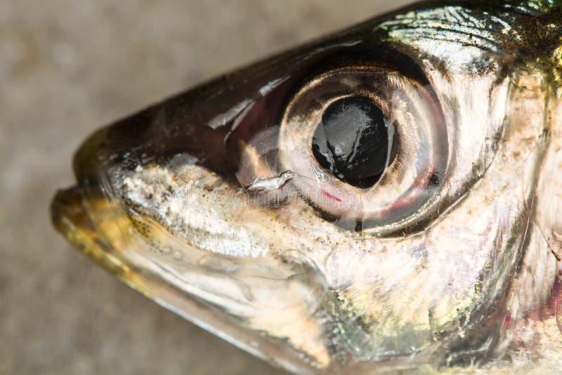 La cabeza de una sardina fresca imagen de archivo libre de regalías