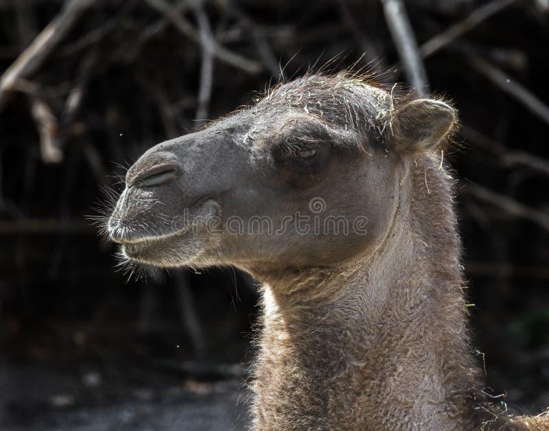 La cabeza del camello bactriano imagenes de archivo