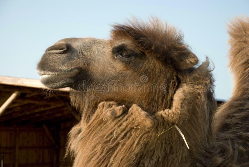 La cabeza del camello bactriano foto de archivo