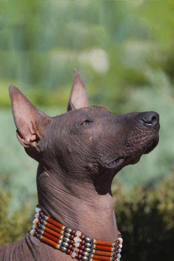 La cabeza del perro sin pelo mexicano del perro de Xoloitzcuintle foto de archivo