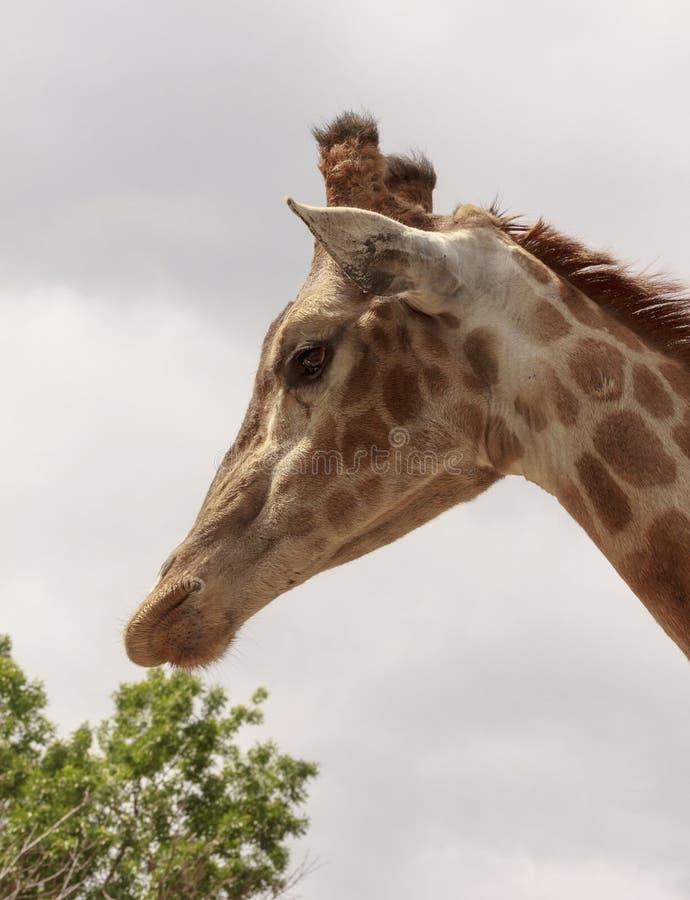 La cabeza del ` s de la jirafa está en perfil en el cuello largo fotos de archivo libres de regalías