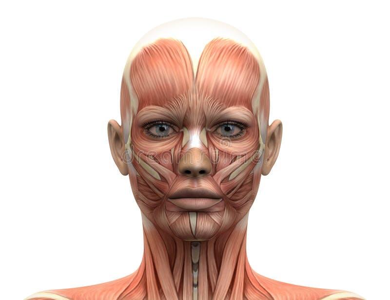 La cabeza femenina Muscles la anatomía - vista delantera stock de ilustración
