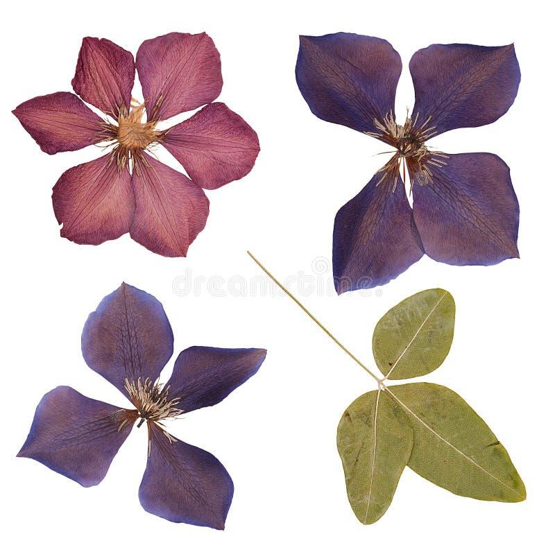 La cabeza presionó las flores secadas aisladas imagen de archivo libre de regalías