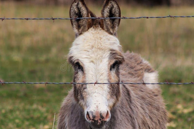 La cabeza tiró de un burro miniatura detrás de la cerca foto de archivo libre de regalías