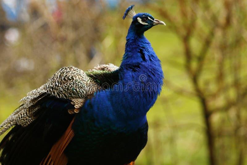 La cabeza y la corona hermosas de un pavo real imagen de archivo