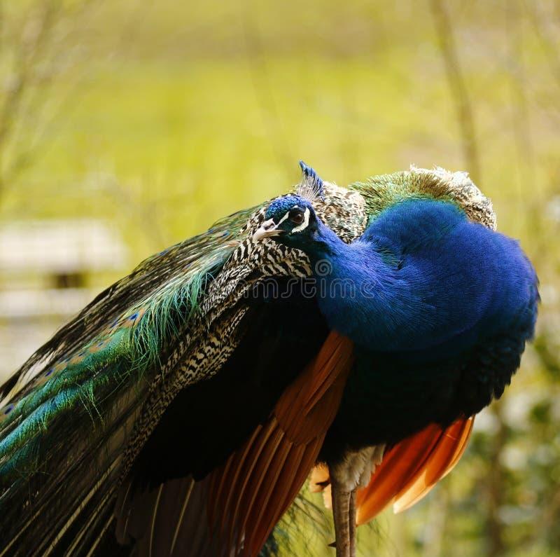 La cabeza y la corona hermosas de un pavo real foto de archivo