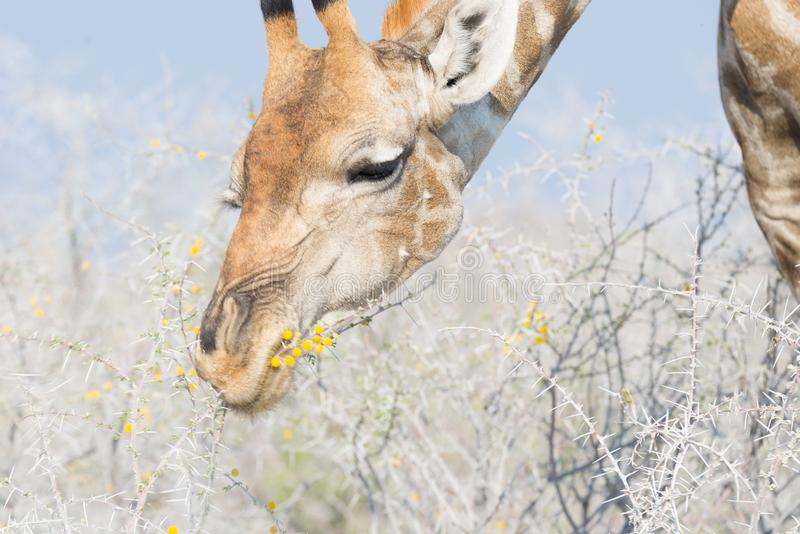 La cabeza y el cuello de la jirafa perfilan, se cierran para arriba y retrato Safari de la fauna en el parque nacional de Kruger, imágenes de archivo libres de regalías