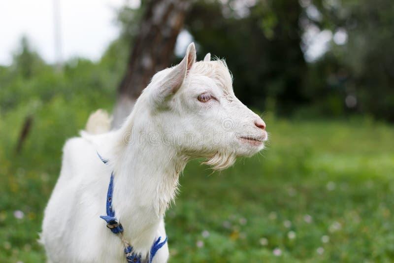 La cabra blanca gris de la cabra pasta en un verano o una primavera del prado soleada foto de archivo