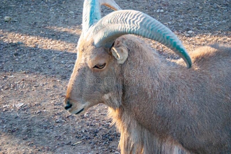 La cabra blanca rusa imagen de archivo