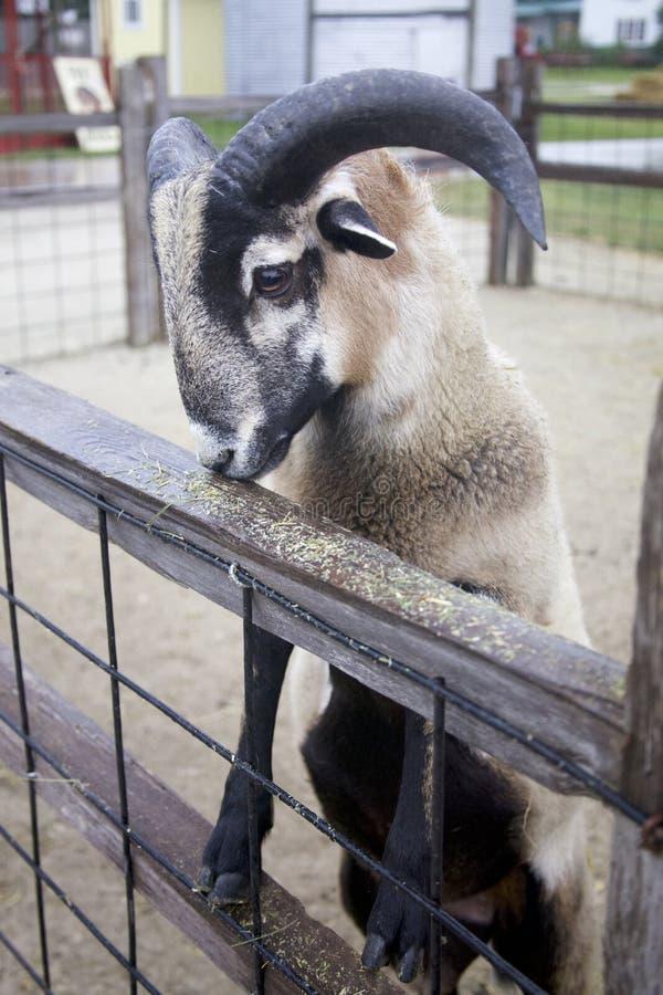 La cabra de Brown, negra y blanca con los cuernos grandes limpia para la comida en el peldaño superior del zoo-granja Pen Fence fotos de archivo libres de regalías
