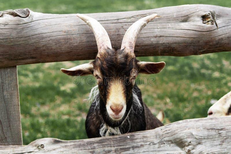 La cabra de la cara llena deslizó su cabeza a través de la cerca fotos de archivo