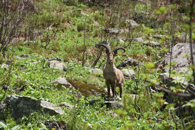 La cabra de montaña, imagen de archivo