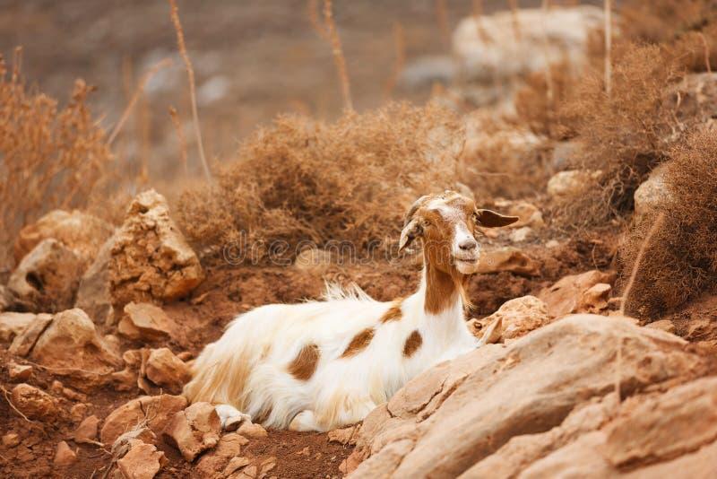 La cabra de montaña imagenes de archivo