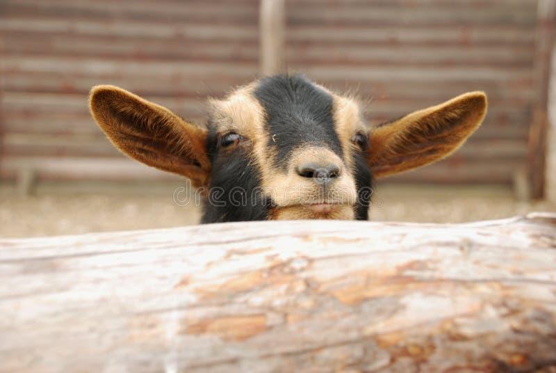 La cabra del Camerún o la cabra enana africana es una raza de la cabra nacional miniatura imagen de archivo