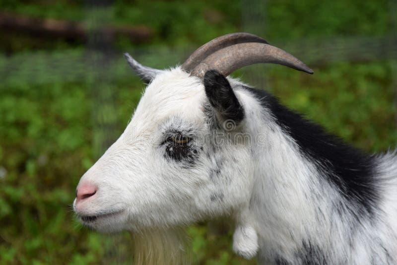 La cabra joven linda mancha algo interesante imágenes de archivo libres de regalías
