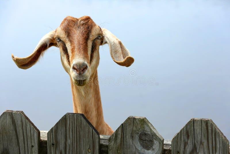 La cabra linda mira hacia fuera de detrás una valla de estacas imagen de archivo libre de regalías