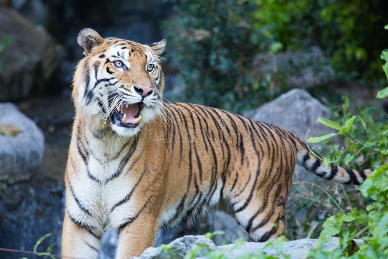 La caccia della tigre di Bengala per il suo alimento fotografie stock