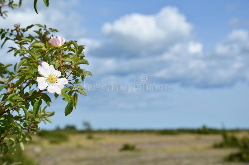 Download La Cadera Salvaje Del Flor Subió Imagen de archivo - Imagen de brier, cielo: 42426921