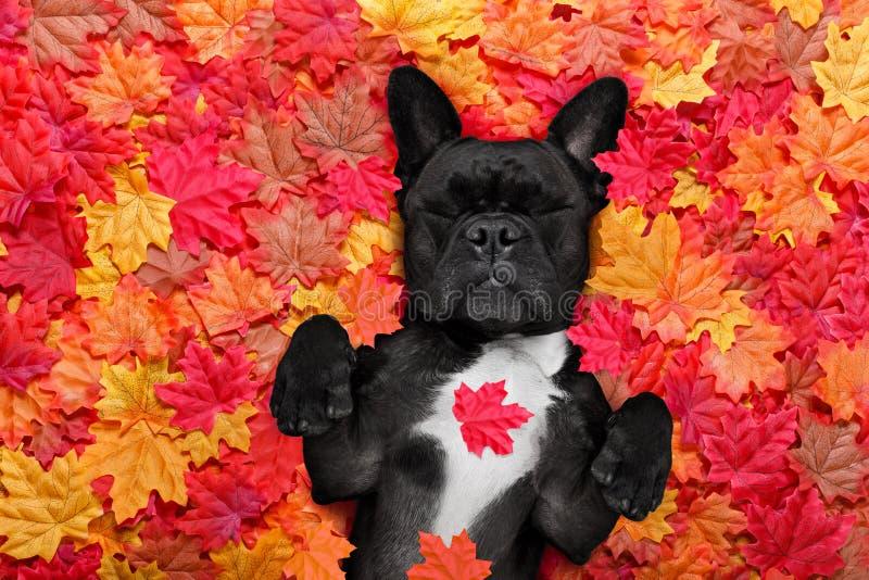 La caduta di Autmn lascia il cane fotografie stock